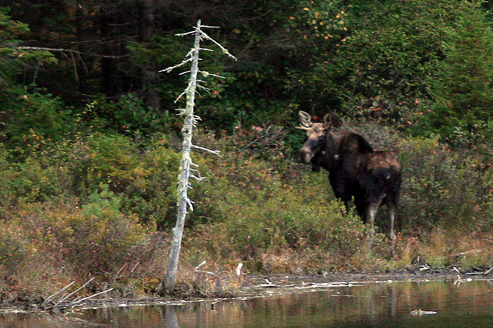 Moose at Lilypond - Kancamagus Scenic Byway