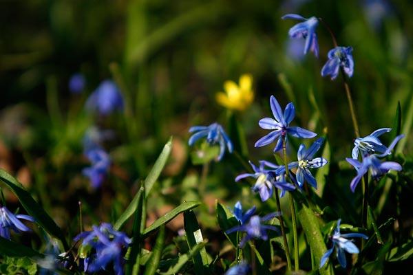 Scilla bifolia - Zweiblättriger Blaustern (Hyacinthaceae)