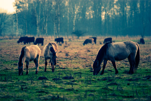 Wildpferde im Naturschutzgebiet Ilkerbruch